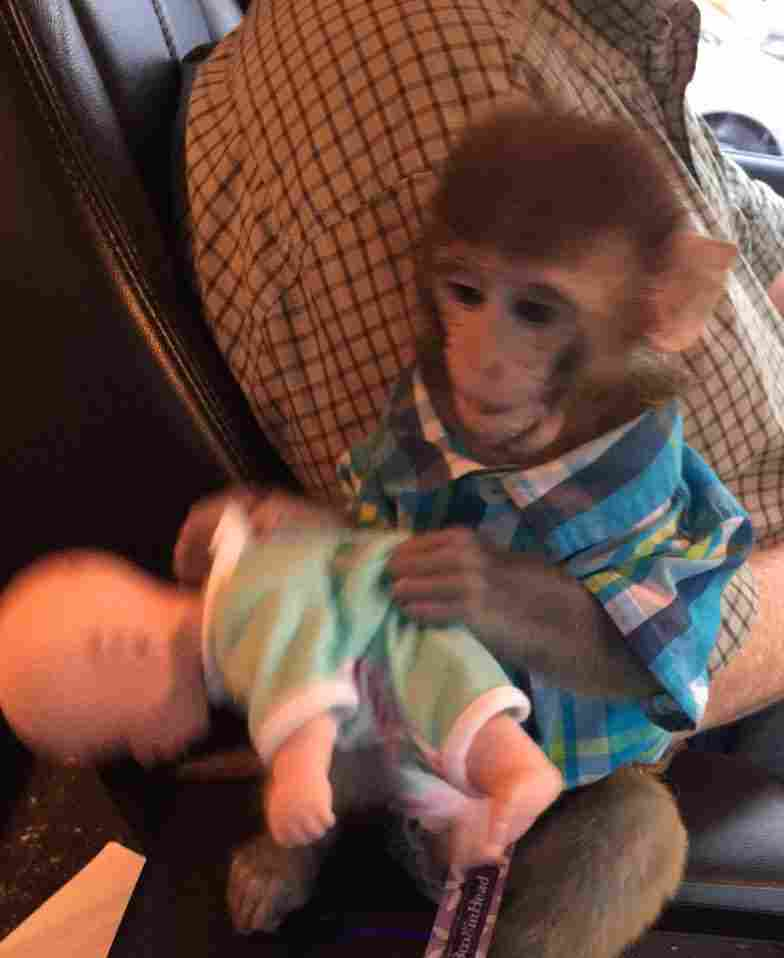 Amazing Rhesus Baby Monkey San Diego, CA, US Classifieds