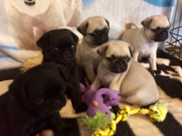 Pug puppies for sale sandiego